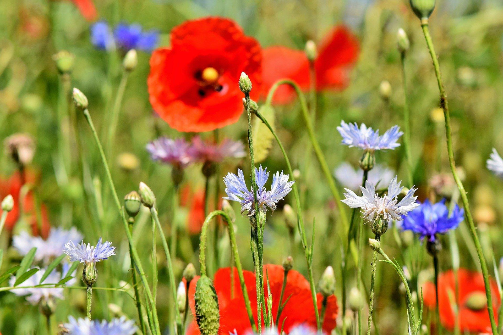 massif de fleurs annuelles