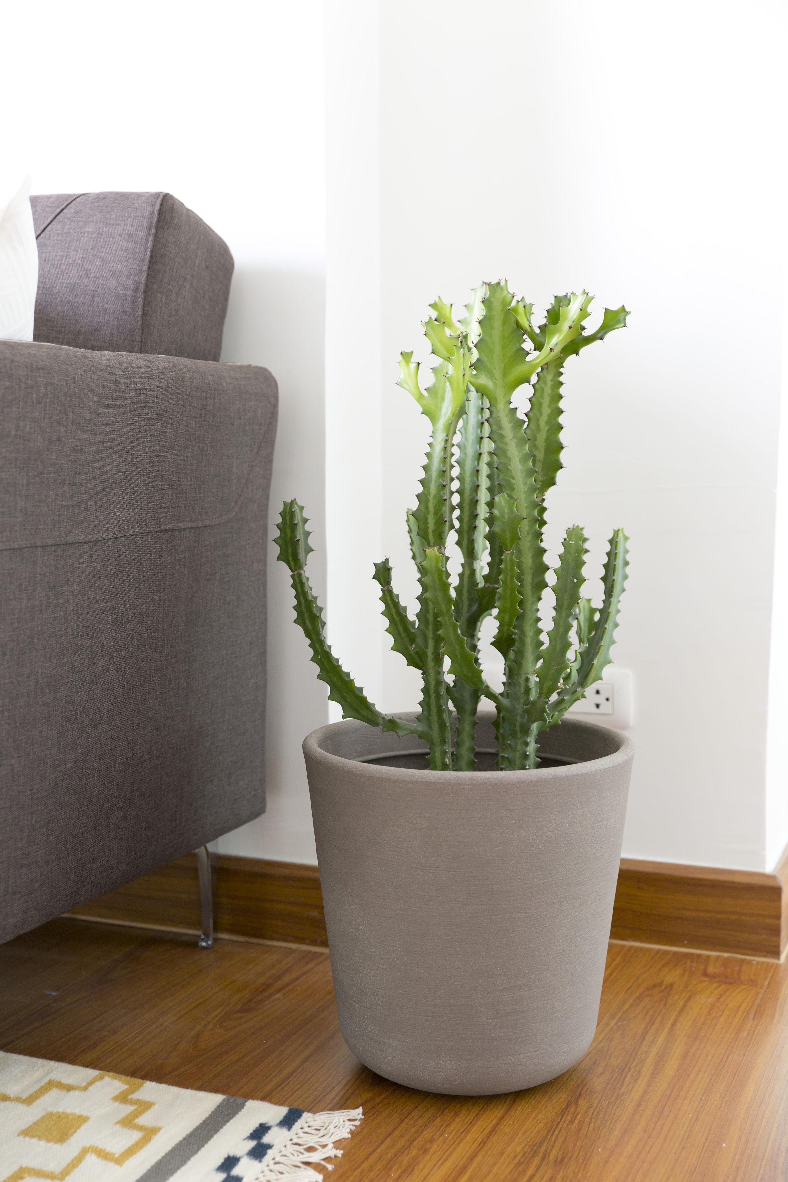 cactus a cote de canape