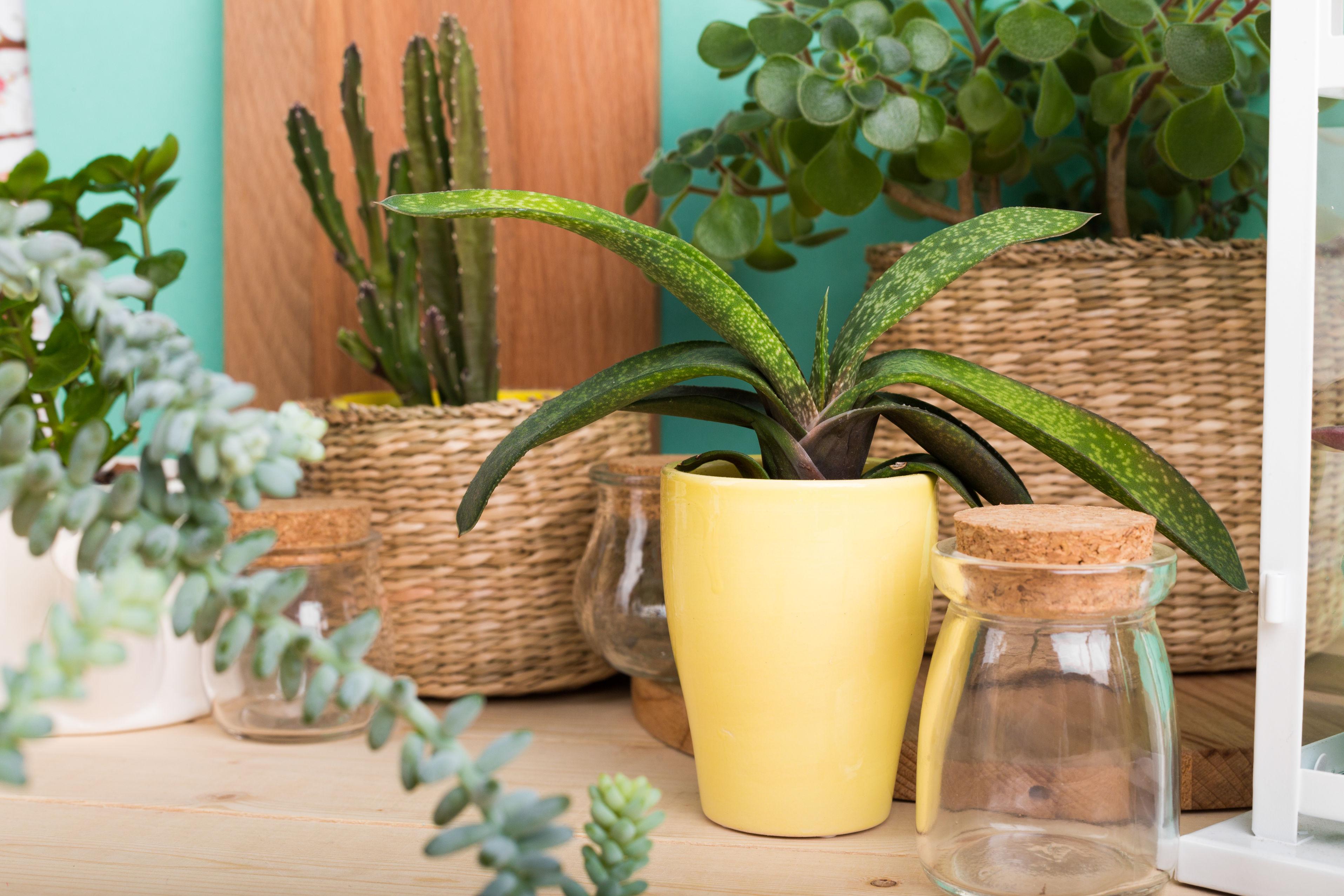 cactus dans paniers en osier